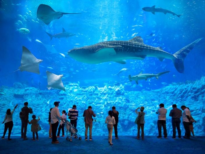 Whale shark at the Osaka Aquarium Kaiyukan