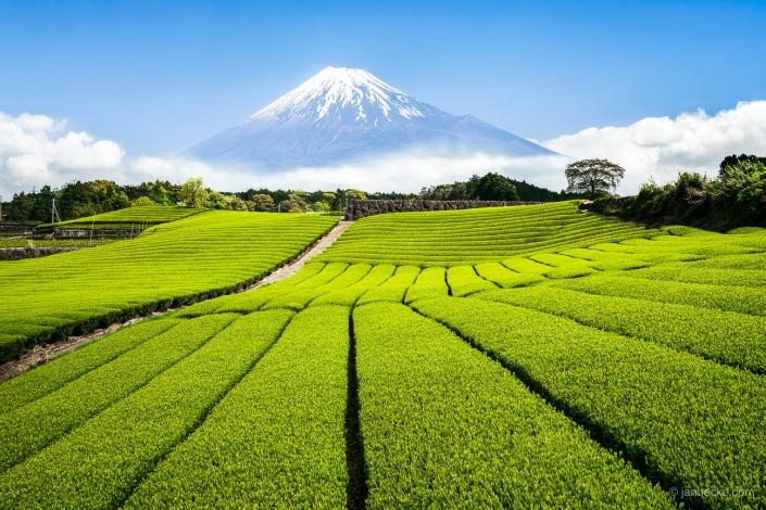 Green tea plantation near Shizuoka Japan with Mount Fuji in the background