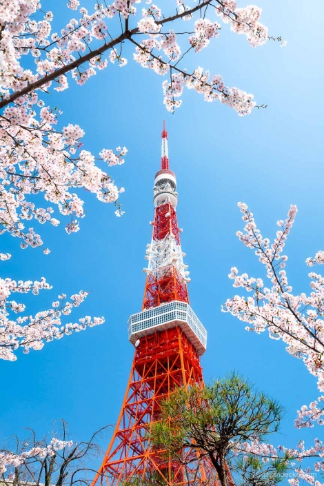 Tokyo Tower and cherry blossom during spring season