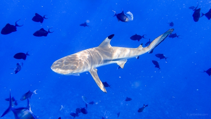 Diving with a blacktip reef shark in the South Sea