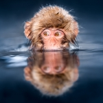Young Japanese macaque also known as snow monkey taking a bath in a hot spring at the Jigokudani Monkey Park, Japan