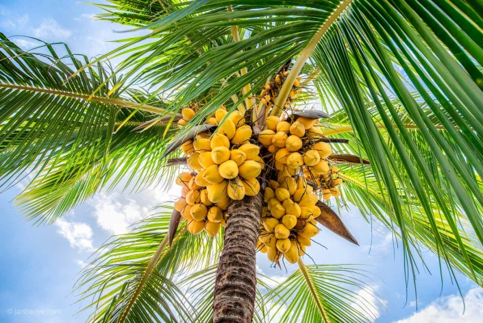 Close up of a coconut tree