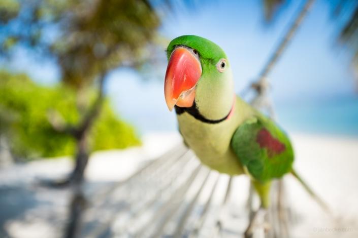 Close up of a rose-ringed parakeet
