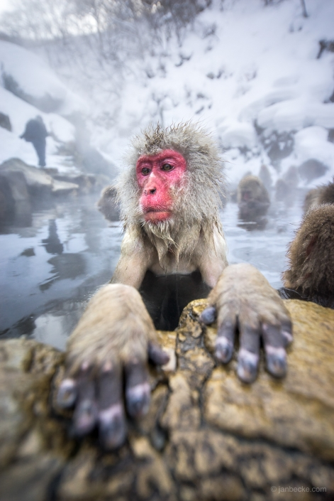 Close up of a Japanese macaques and his hands sitting in a hot spring at the Jigokudani Snow Monkey Park