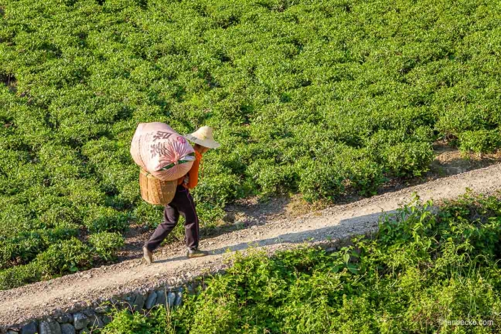 Chinese farmer working at the Long Jing Tea Plantation in Hangzhou, China