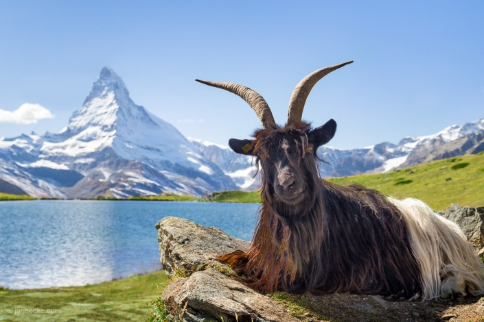 Valais Blackneck goat near Stellisee and Matterhorn, Swiss Alps, Switzerland