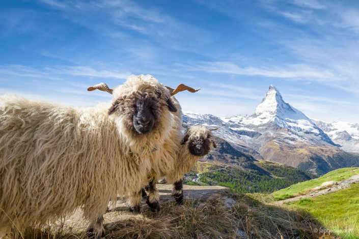 Valais Blacknose sheep near Zermatt with Matterhorn mountain in the background, Switzerland