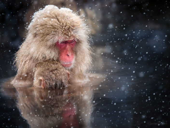Japanese macaques mother and child brave the cold by sitting in a hot spring
