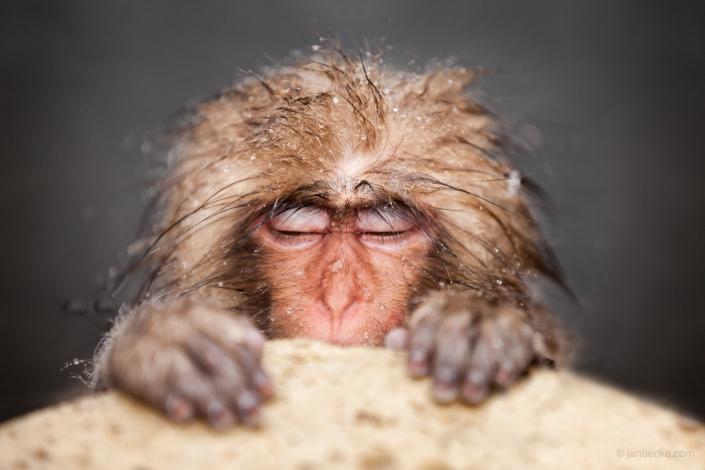 Young Japanese macaque at the Jigokudani Snow Monkey Park, Japan