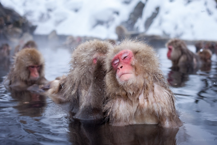 A group of Japanese macaques relaxing in a hot spring at the Jigokudani Snow Monkey Park, Japan