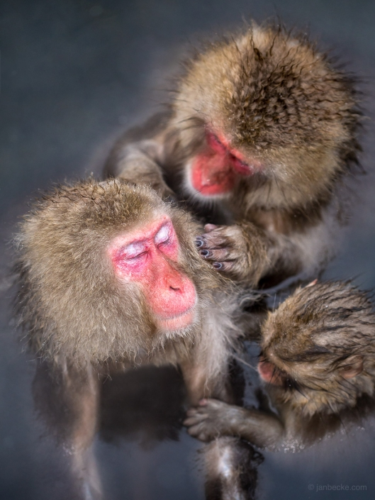Social grooming between a group of Japanese macaques