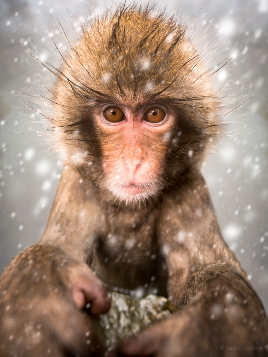 Close up of a Japanese macaques during a snow storm at the Jigokudani Snow Monkey Park, Japan