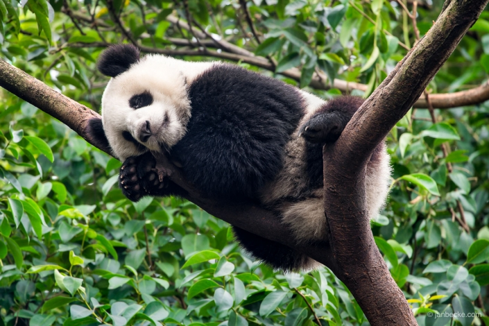 Giant Panda sleeping on a tree at the Chengdu Research Base of Giant Panda Breeding