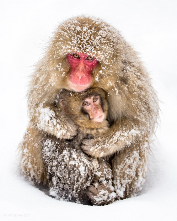 Japanese baby macaque with his mother at the Jigokudani Snow Monkey Park in Japan